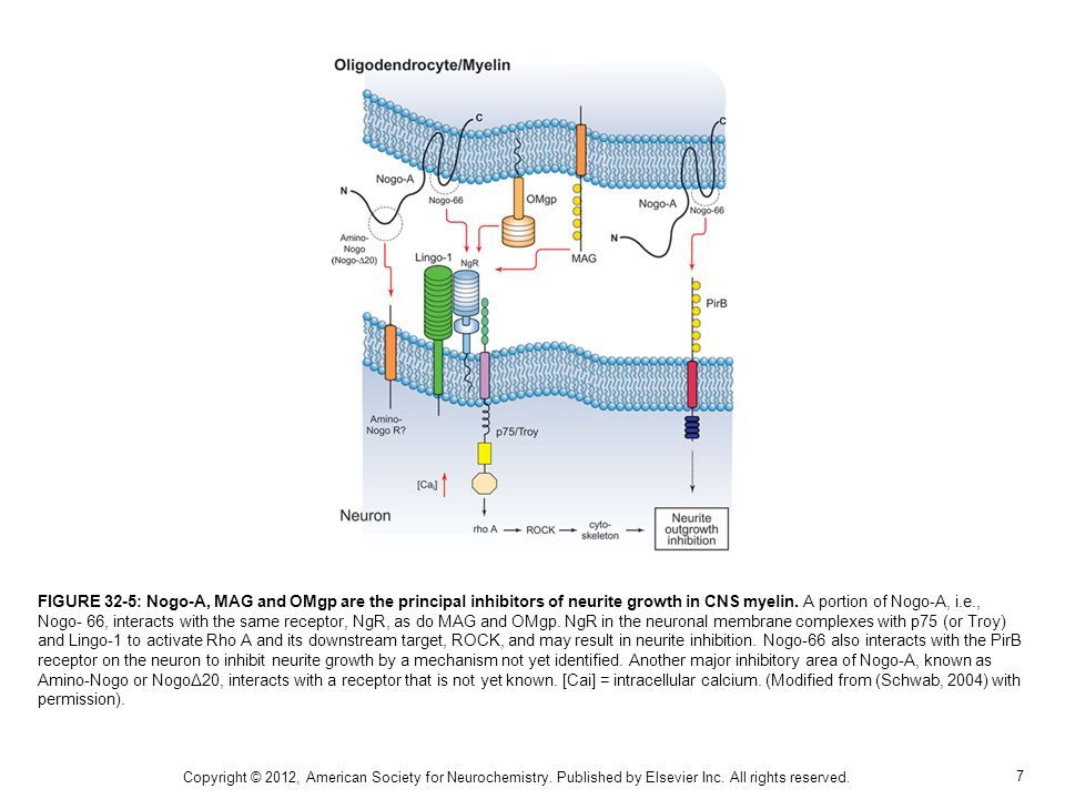 FIGURE 32-5: Nogo-A, MAG and OMgp are the principal inhibitors of neurite growth in CNS myelin. A portion of Nogo-A, i.e., Nogo- 66, interacts with the same receptor, NgR, as do MAG and OMgp. NgR in the neuronal membrane complexes with p75 (or Troy) and Lingo-1 to activate Rho A and its downstream target, ROCK, and may result in neurite inhibition. Nogo-66 also interacts with the PirB receptor on the neuron to inhibit neurite growth by a mechanism not yet identified. Another major inhibitory area of Nogo-A, known as Amino-Nogo or NogoΔ20, interacts with a receptor that is not yet known. [Cai] = intracellular calcium. (Modified from (Schwab, 2004) with permission).